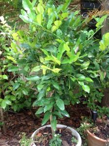 Kaffir Lime b