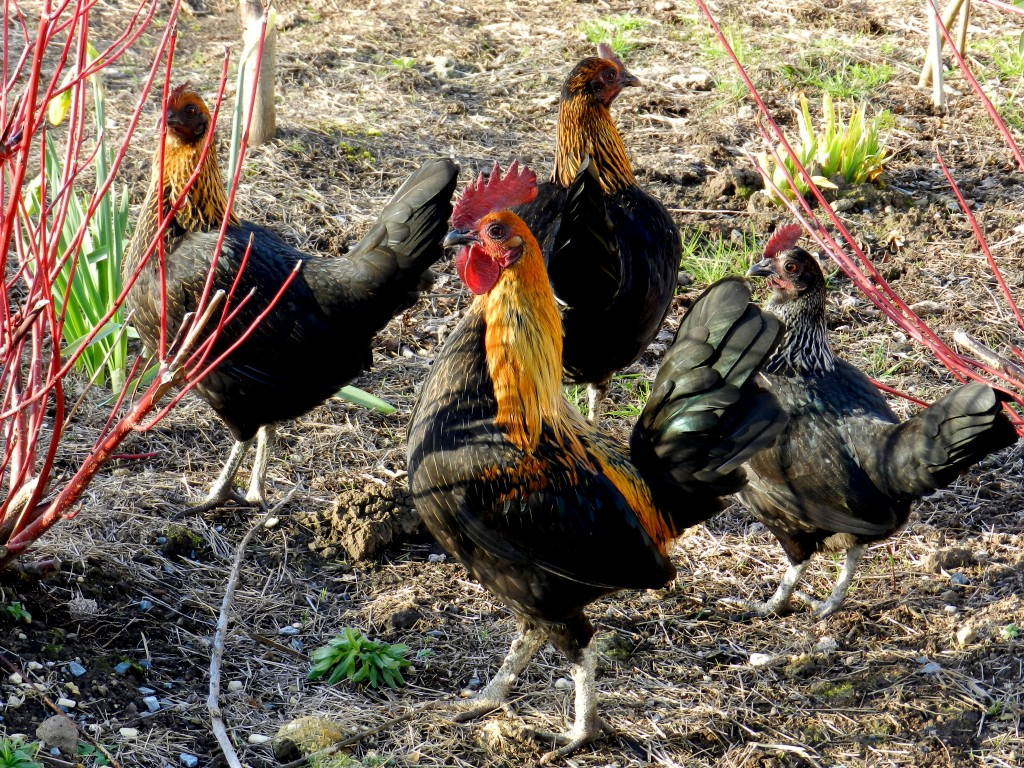 Roast Chicken - a